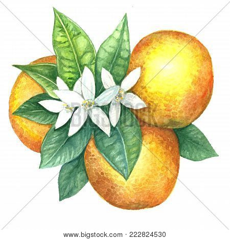 Watercolor image of flowering oranges. Citrus fruits on a flowering branch. Fruits of an orange. Illustration of citrus. Handmade drawing. Isolated image on white background.
