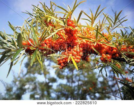 Branch of Seabuckthorn Berries on sky background in garden