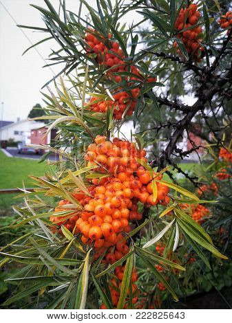 Branch of Seabuckthorn Berries on sky background