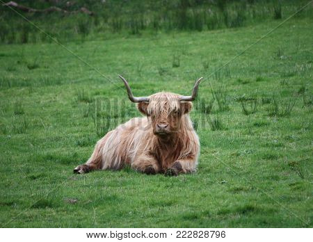 cow sitting in the field looking beautiful