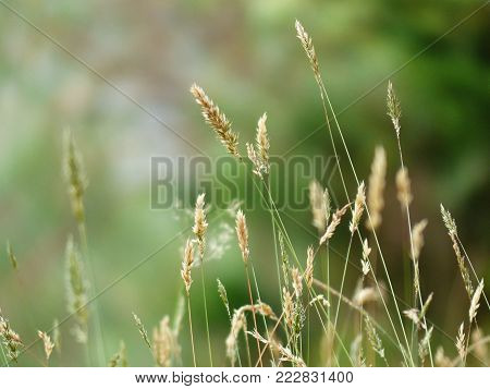 golden spikes of grass with a blurred background