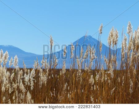 a group of grass spikes with a mountain on the back on the atacama desert