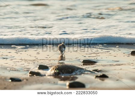 Small Sanderling bird foraging for morning food by sticking beak into sand of shoreline surf.