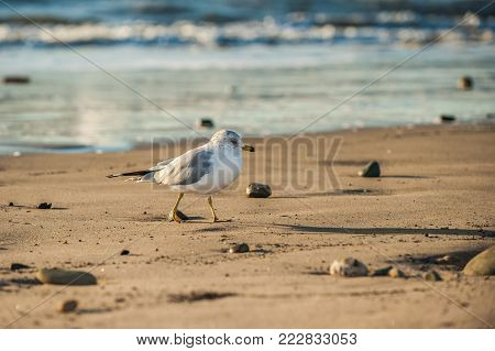 Webbed footed seagull walking across beach sand with sparkling ocean in background.