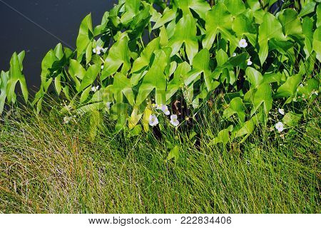 Broadleaf arrowhead (Sagittaria latifolia), also called duck potato, Indian potato, and wapato, blooms along the edge of a small lake in Joliet, Illinois, during July.