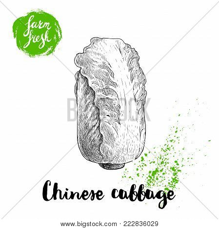 Hand drawn sketch style chinese cabbage poster. Vintage  vegetable isolated on white background. Vector farm fresh illustration.