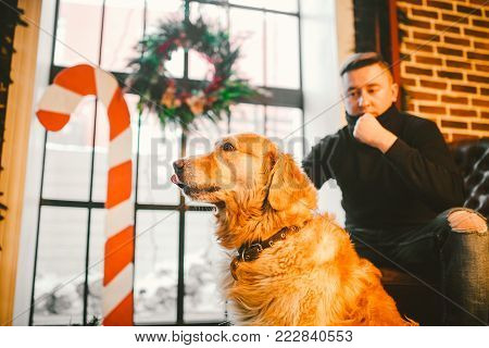 Purebred adult golden retriever, labrador close-up, portrait in interior with christmas decor in winter on window background, brick wall and owner of man sitting in armchair.
