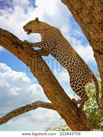 African Leopard -Panthera Pardus - Climbing up a tree against a blue cloudy sky in South Luangwa National Park, Zambia, Southern