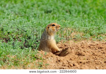 The yellow ground squirrel (Spermophilus fulvus) gets out of the hole (on a background of green grass).