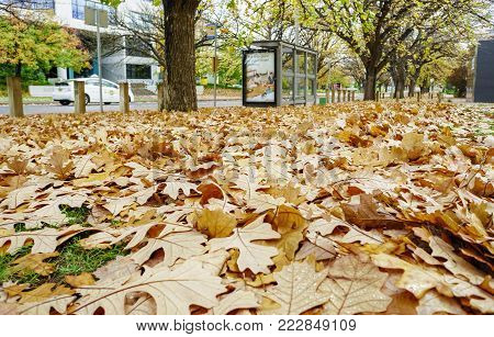 Canberra, Australia - Apr 26, 2017: Oak leaves in autumn colors fallen by the roadside along National Circuit, behind a public bus stop. A taxi passes by on an overcast day.