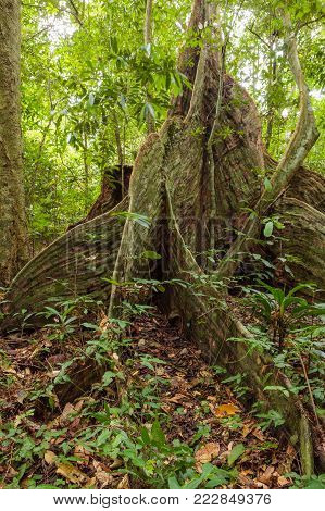 Buttress tree roots in rainforest Borneo Malaysia