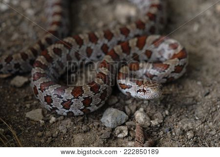 A young prairie kingsnake from northern Missouri.