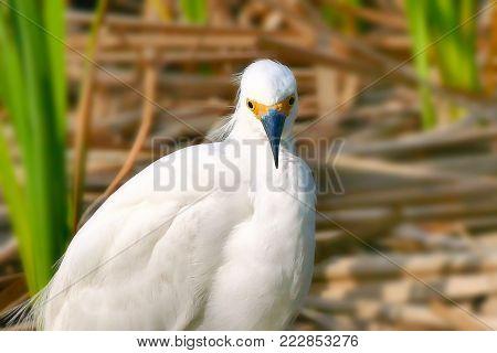 Snowy Egret - egretta thula - a small white heron in the wild closeup