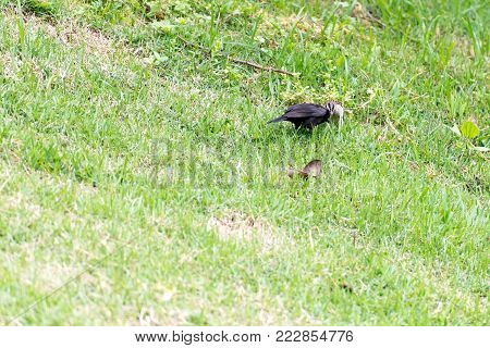 The Shiny Cowbird Parasitizing The Rufous Collared Sparrow