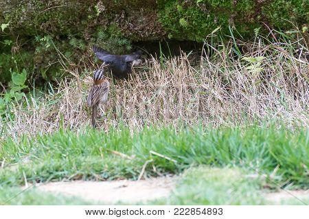 The Rufous Collared Sparrow Feeding The Shiny Cowbird