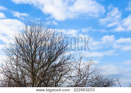 white clouds in blue sky over bare cherry trees in Kuban region of Russia