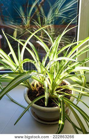 Chlorophytum houseplant in pot on the windowsill illuminated by sun light in sunny winter day