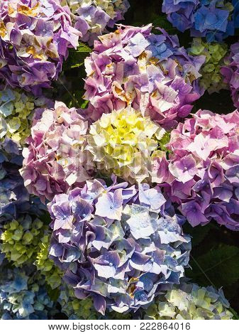 travel to France - traditional breton hydrangea flowers at Saint-Guirec beach of Perros-Guirec commune on Pink Granite Coast of Cotes-d'Armor department in the north of Brittany after summer rain