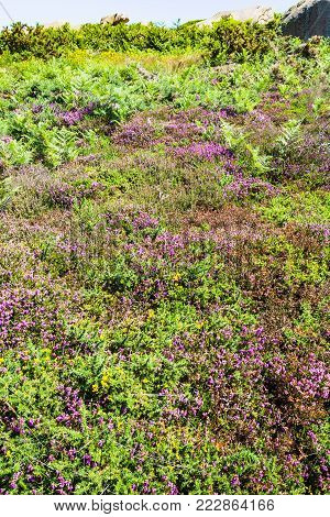 travel to France - green heathland with heather in Ploumanac'h site of Perros-Guirec commune on Pink Granite Coast of Cotes-d'Armor department in the north of Brittany in sunny summer day