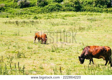 country landscape - cows on green meadow at Ile-de-Brehat island in Cotes-d'Armor department of Brittany in summer sunny day