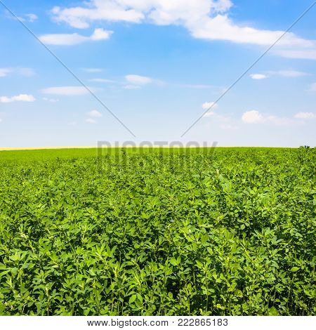 country landscape - medicago plant on green field under blue sky near village L'Epine Marne in sunny summer day in Champagne region of France