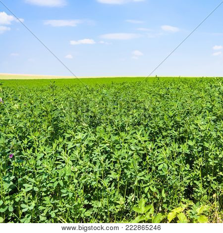 country landscape - alfalfa grass on green field under blue sky near village L'Epine Marne in sunny summer day in Champagne region of France