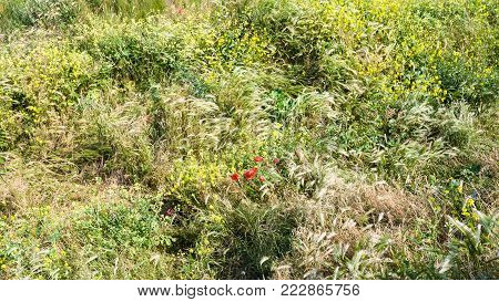 travel to France - red poppy flowers on meadow on Cap Gris-Nez of English channel in Cote d'Opale district in Pas-de-Calais region of France in summer day
