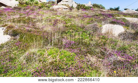 travel to France - heathland with boulders in Ploumanac'h site of Perros-Guirec commune on Pink Granite Coast of Cotes-d'Armor department in the north of Brittany in sunny summer day