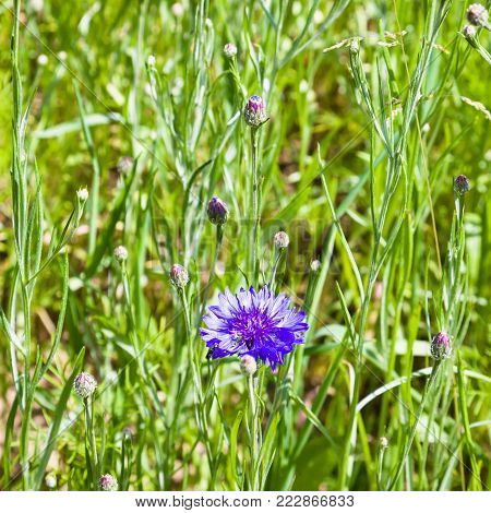 travel to France - cornflower blue flower on green meadow in Cotes-d'Armor department of Brittany in sunny summer day