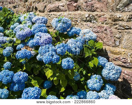 travel to France - traditional hydrangea flowers near outdoor house wall in Cotes-d'Armor department of Brittany in sunny summer day
