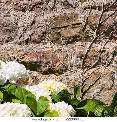 travel to France - outdoor house wall and white hydrangea flowers in Cotes-d'Armor department of Brittany in sunny summer day