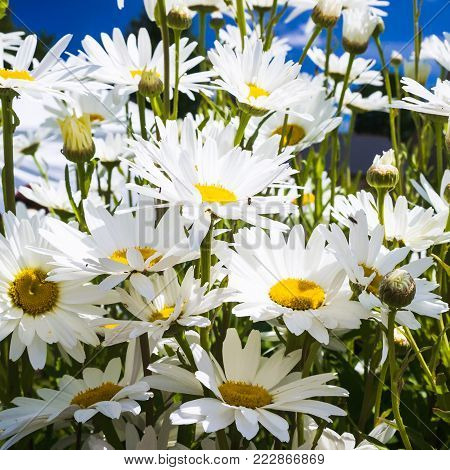 travel to France - many daisy flowers in Cotes-d'Armor department of Brittany in sunny summer day