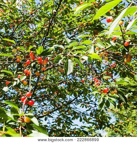 travel to France - cherry tree with ripe fruits in Cotes-d'Armor department of Brittany in sunny summer day