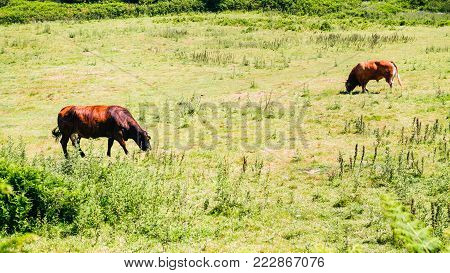 country landscape - cow and bull graze on green meadow at Ile-de-Brehat island in Cotes-d'Armor department of Brittany in summer sunny day
