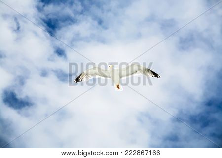 travel to France - sea gull hovers in blue sky with white clouds over Atlantic ocean coast in Paimpol region of Cotes-d'Armor department of Brittany in summer
