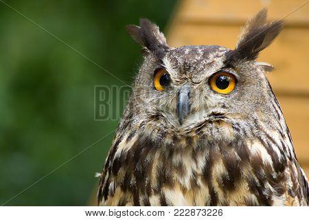 Portrait, poster owl, bubo bubo in nature