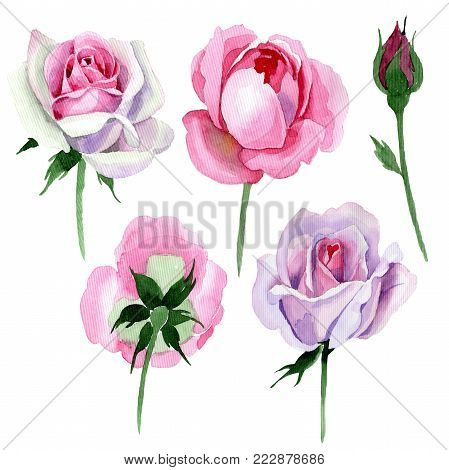 Wildflower tender pink rose flower in a watercolor style isolated. Full name of the plant: tender pink rose, hulthemia. Aquarelle wild flower for background, texture, wrapper pattern, frame or border.