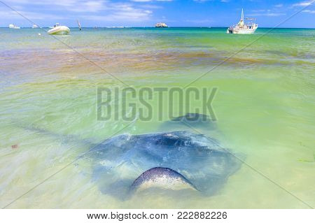 Spectacular landscape of Hamelin Bay in Margaret River Region, WA. Big Australian Eagle Ray close to shore. Hamelin Bay is one of the best places in Australia to spot wild sting rays up close.