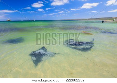 Group of Big Australian Eagle Ray close to shore in Hamelin Bay, Margaret River Region, Western Australia. Hamelin Bay is one of the best places in Australia to spot wild sting rays up close.