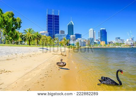 Two Black Swans on Swan River: one on shoreline, one floating in the water. Perth cityscape with its modern skyscrapers on background, Western Australia.