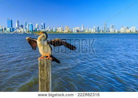 Australian Cormorant on a wooden pillar spreads its wings to dry on the Swan River in Perth, Western Australia. Perth city skyline on blurred background. Copy space.