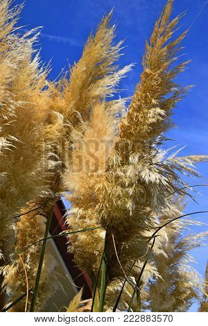 Waving pampas grass in front of blue sky