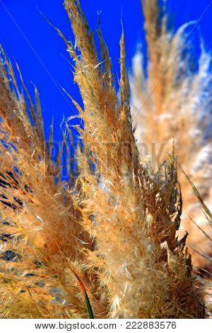 Group of pampas grass (Cortaderia selloana) with blue sky