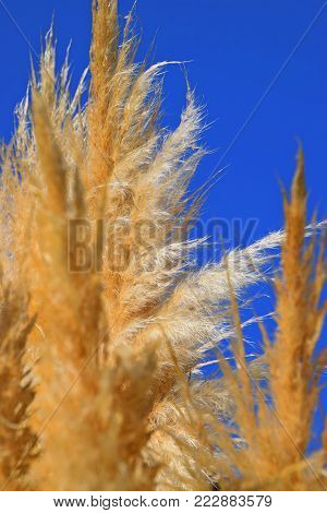 Cortaderia selloana, Pampas grass with blue sky