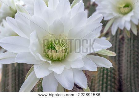 White cactus flower closeup - Night blooming Cereus cactus - Nature background