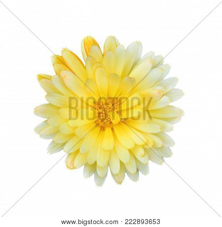 Gorgeous yellow Dahlia isolated on white background close up. Dahlia is a genus of bushy, tuberous, herbaceous perennial plants native to Mexico. Garden flower plants.