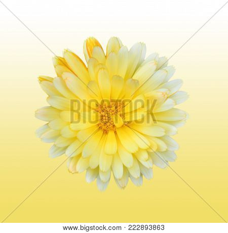 Gorgeous yellow Dahlia isolated on gradient background close up. Dahlia is a genus of bushy, tuberous, herbaceous perennial plants native to Mexico. Garden flower plants.