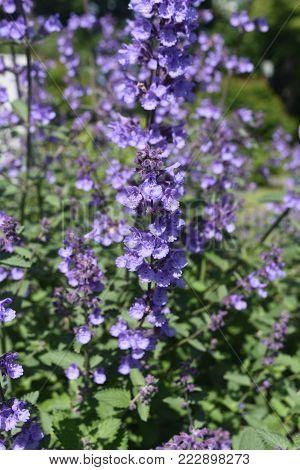 Lovely Shot of Lavender in the Spring