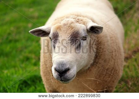 Close up of a sheeps face chewing some grass with grass in the background and space for text.