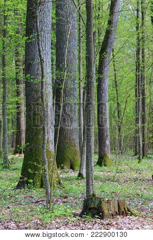 Fresh Mixed Forest Stand In Early Springtime Sun, Bialowieza Forest, Poland, Europe